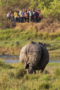 HMS3625478 Nepal, Chitwan National Park, group of tourists observing a Greater One-horned Rhino (Rhinoceros unicornis)