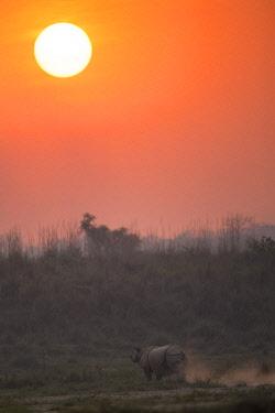 HMS3625484 Nepal, Chitwan National Park, Greater One-horned Rhino (Rhinoceros unicornis) at sunset