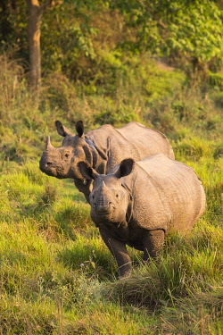 HMS3625488 Nepal, Chitwan National Park, two Greater One-horned Rhinos (Rhinoceros unicornis) of which one wearing a radio collar