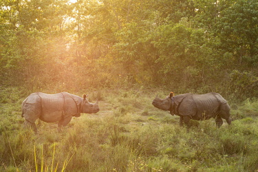 HMS3625494 Nepal, Chitwan National Park, two Greater One-horned Rhinos (Rhinoceros unicornis) face to face