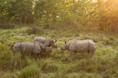 HMS3625496 Nepal, Chitwan National Park, three Greater One-horned Rhinos (Rhinoceros unicornis) face to face