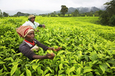 HMS3522657 Rwanda, center of the country, couple of farmers picking tea leaves in a tea plantation
