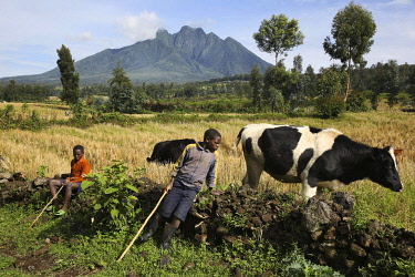 HMS3522665 Rwanda, Volcanoes National Park, young boys guarding cows in front of fields with a volcano on a background