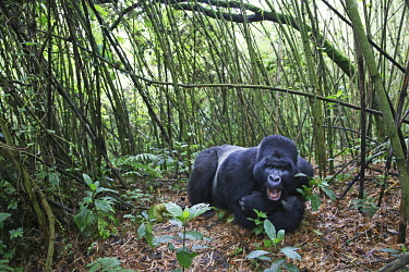 HMS3522670 Rwanda, Volcanoes National Park, male mountain gorilla or silver back lying in a bamboo forest