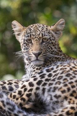 HMS3240199 South Africa, Mala Mala game reserve, savannah, African Leopard (Panthera pardus pardus), young resting
