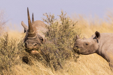 HMS3240327 South Africa, Kalahari Desert, Black rhinoceros or hook-lipped rhinoceros (Diceros bicornis), mother and young, 3O years and 14 months old