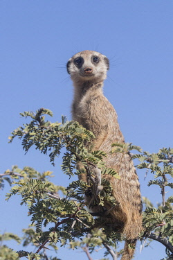 HMS3240356 South Africa, Kalahari Desert, Meerkat or suricate (Suricata suricatta), adult, sentinel perched on a tree