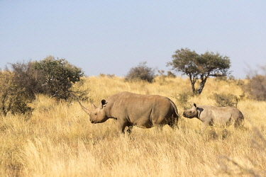 HMS3240422 South Africa, Kalahari Desert, Black rhinoceros or hook-lipped rhinoceros (Diceros bicornis), mother and young, 3O years and 14 months old