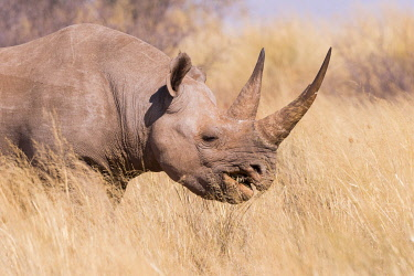 HMS3240434 South Africa, Kalahari Desert, Black rhinoceros or hook-lipped rhinoceros (Diceros bicornis), mother and young, 3O years and 14 months old