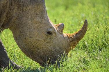 HMS3402864 South Africa, Sun City, Pilanesberg National Park, rhino