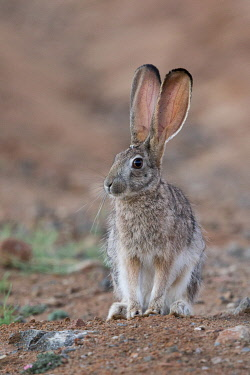 HMS3526649 South Africa, Private reserve, Scrub hare (Lepus saxatilis)