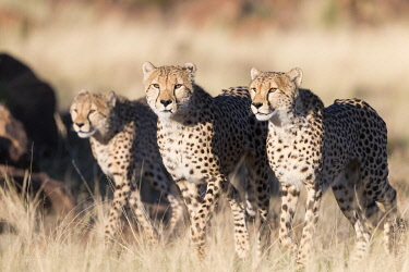HMS3526674 South Africa, Private reserve, Cheetah (Acinonyx jubatus), walking