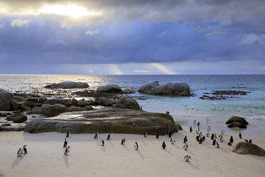HMS3657485 South Africa, Western Cape, Cape Penguin (Spheniscus demersus) against the sun in Boulders Beach, Cape Town