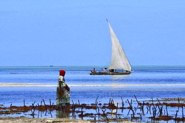 HMS3442404 Tanzania, Zanzibar, Jambiani, woman collecting seaweeds