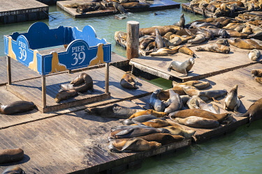 USA14846AW High angle view of California sea lions relaxing at Pier 39 on sunny day, San Francisco, San Francisco Peninsula, Northern California, California, USA