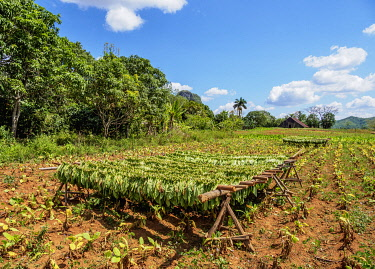 CUB1740AW Tobacco leaves drying on the field, Vinales Valley, UNESCO World Heritage Site, Pinar del Rio Province, Cuba