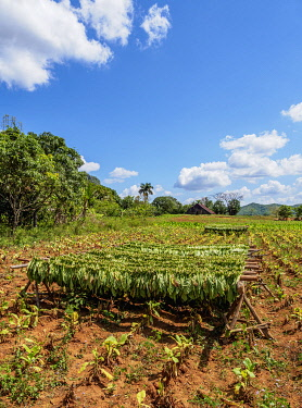 CUB1741AW Tobacco leaves drying on the field, Vinales Valley, UNESCO World Heritage Site, Pinar del Rio Province, Cuba