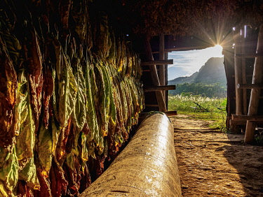 CUB1743AW Tobacco drying shed, interior, Vinales Valley, UNESCO World Heritage Site, Pinar del Rio Province, Cuba