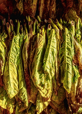CUB1745AW Tobacco drying shed, interior, Vinales Valley, UNESCO World Heritage Site, Pinar del Rio Province, Cuba