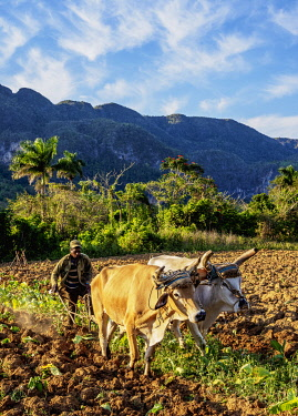 CUB1746AW Traditional Plowing at Vinales Valley, UNESCO World Heritage Site, Pinar del Rio Province, Cuba