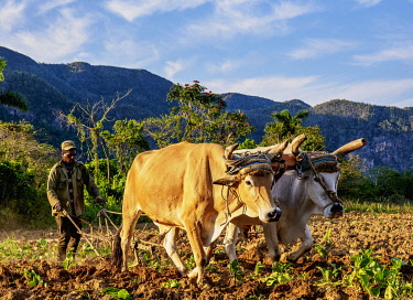 CUB1748AW Traditional Plowing at Vinales Valley, UNESCO World Heritage Site, Pinar del Rio Province, Cuba