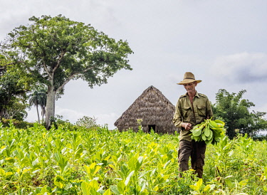 CUB1749AW Man harvesting tobacco leaves, Vinales Valley, UNESCO World Heritage Site, Pinar del Rio Province, Cuba