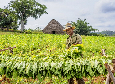 CUB1750AW Man harvesting tobacco leaves, Vinales Valley, UNESCO World Heritage Site, Pinar del Rio Province, Cuba