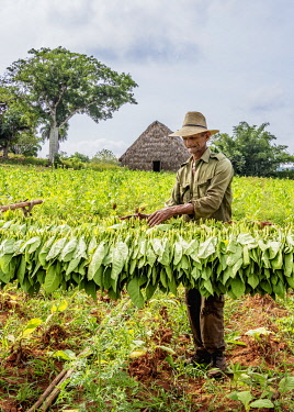 CUB1751AW Man harvesting tobacco leaves, Vinales Valley, UNESCO World Heritage Site, Pinar del Rio Province, Cuba