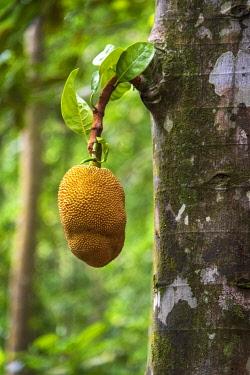 SAO1208AW Africa, S�A?o Tomè and Principe. Jackfruit on the tree.
