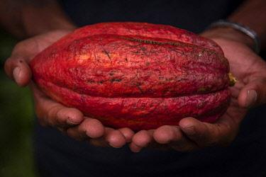 SAO1233AW Africa, S�A?o Tomè and Principe. Ripe cocoa fruit