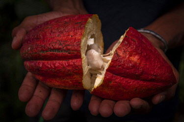 SAO1234AW Africa, S�A?o Tomè and Principe. Ripe cocoa fruit