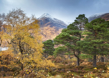 SCO35627AW Scotland, Highland, Glen Affric. Birch and Scots Pine trees with snow-capped peaks beyond.