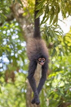 ELS0022AW Americas, Central America, Puerto Barillas, El Salvador, Critically Endangered Nicaraguan sub-species of the Black-handed or Geoffroy's spider monkey (Ateles geoffroyi geoffroyi)