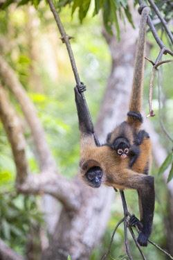 ELS0023AW Americas, Central America, Puerto Barillas, El Salvador, Critically Endangered Nicaraguan sub-species of the Black-handed or Geoffroy's spider monkey (Ateles geoffroyi geoffroyi)