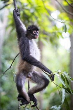 ELS0024AW Americas, Central America, Puerto Barillas, El Salvador, Critically Endangered Nicaraguan sub-species of the Black-handed or Geoffroy's spider monkey (Ateles geoffroyi geoffroyi)