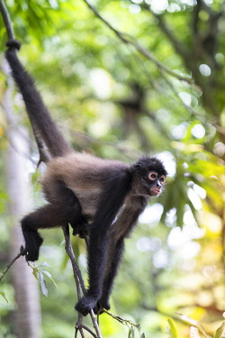 ELS0025AW Americas, Central America, Puerto Barillas, El Salvador, Critically Endangered Nicaraguan sub-species of the Black-handed or Geoffroy's spider monkey (Ateles geoffroyi geoffroyi)