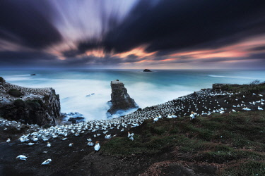 NZ9812AW Gannet Colony on a a sea stack at sunset with the sun setting in the ocean on the West Coast near Auckland, North Island, New Zealand