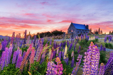 NZ9846AW The church of the Good Shepherd with lupins in bloom by the lake at sunrise at Tekapo, New Zealand