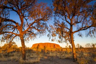 AUS3777AW Desert Oak  frame the rock at Uluru. Uluru-Kata Tjuta National Park, Central Australia, Northern Territory, Australia