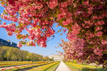 HMS3505235 France, Paris, the Jardin des Plantes with a Japanese cherry blossom (Prunus serrulata) and the Grand Galerie of the Natural History Museum in the foreground