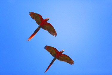 CR33279AW Scarlet Macaws (Ara macao) in flight, Corcovado National Park, Osa Peninsula, Costa Rica