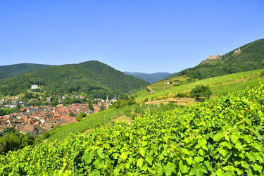 HMS3587545 France, Haut Rhin, the Alsace Wine Route, Ribeauville and it's wineyard, Saint Ulrich Castle and Girsberg Castle