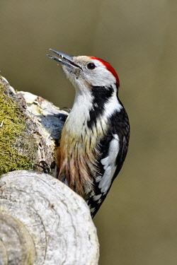 HMS3590082 France, Doubs, bird, woodpecker (Dendrocopos medius) foraging on an old trunk
