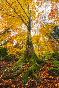 CLKAG121055 Autumn beech tree, Bagni di Masino forest, Val Masino, Sondrio province, Valtellina, Lombardy, Italy, Europe