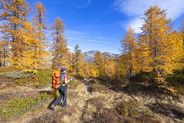 CLKGP119910 A girl is walking in a larches forest in Alpe Veglia and Alpe Devero Natural Park in autumn season (Alpe Devero, Baceno, Antigorio Valley, Verbano Cusio Ossola province, Piedmont, Italy, Europe) (MR)