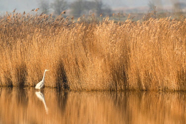 HMS3481226 France, Somme, Baie de Somme, Noyelles-sur-mer, Great Egret (Ardea alba) in a reed bed in the Baie de Somme