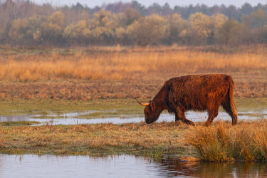 HMS3501973 France, Somme, Baie de Somme, Le Crotoy, Crotoy Marsh, Highland Cattle for Ecopaturing in the Crotoy marsh