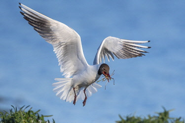 HMS3569695 France, Somme, Baie de Somme, Le Crotoy, The marsh of Crotoy welcomes each year a colony of Black-headed Gull (Chroicocephalus ridibundus - Black-headed Gull) which come to nest and reproduce on islan...