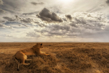 CLKMG115540 Lioness resting in the Serengeti plains, Tanzania