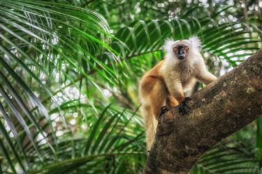 CLKMG115609 black lemur (Eulemur macaco) in Palmarium reserve, Eastern Madagascar